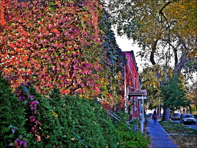 MUR DE FEUILLES - Au coeur de Rosemont, octobre 2014