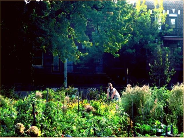 JARDIN DE VILLE ET COEUR TRANQUILLE Jardin communautaire, coin Gilford et Delorimier Septembre 2015, Montréal